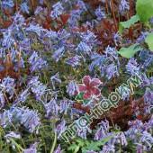 Хохлатка Flexuosa Purple Leaf