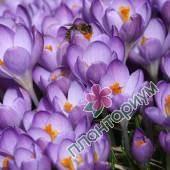 Крокус Barrs Purple
