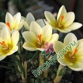 Крокус Cream Beauty