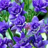 Фрезия Махровая Синяя