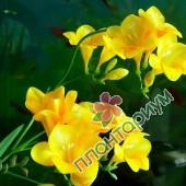 Фрезия Простая Желтая