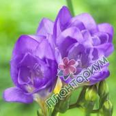 Фрезия Махровая Фиолетовая