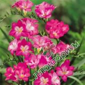 Фрезия Простая Розовая