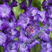 Гладиолус Blue Tropic