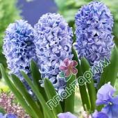 Гиацинт Delft Blue