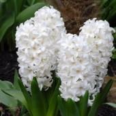 Гиацинт Fairy White