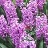 Гиацинт Purple Pride