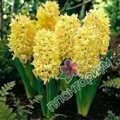 Гиацинт Yellow Queen