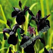 Ирис Black Form