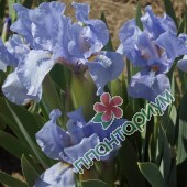 Ирис Blue Denim