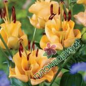 Лилия Apricot Fudge