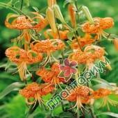 Лилия Lancefolium Splendens