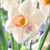 Нарцисс Fragrant Rose