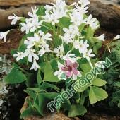 Кислица ssp. papilionacea