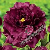Пион Black Beauty