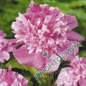 Пион Bouquet Perfect