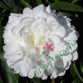 Пион Bowl of Cream