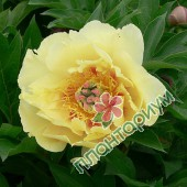 Пион itoh Garden Treasure
