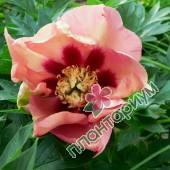 Пион itoh Old Rose Dandy