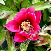 Пион Itoh Pink Ardour