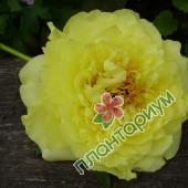 Пион itoh Yellow Crown