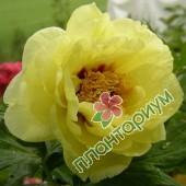 Пион itoh Yellow Waterlily