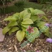 Хоста Plantaginea Grandiflora