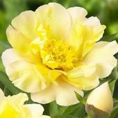 Пион Itoh Lemon Dream