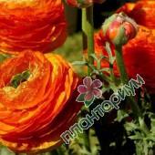 Ранункулюс Asiaticus Aviv Оранжевый