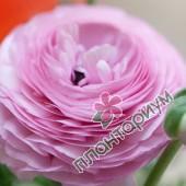 Ранункулюс asiaticus Aviv розовый