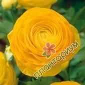 Ранункулюс asiaticus Aviv желтый