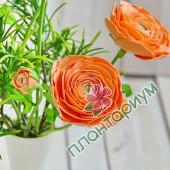 Ранункулюс Asiaticus Tomer Оранжевый
