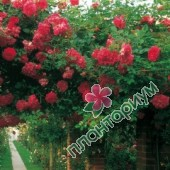 Роза Alexandre Girault