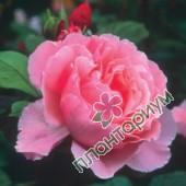 Роза Brother Cadfael