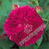 Роза Charles De Mills