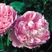 Роза Charles Rennie Mackintosh
