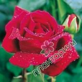 Роза Crimson Glory