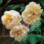 Роза Desprez A Fleur Jaune