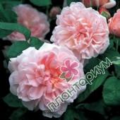 Роза Eglantyne