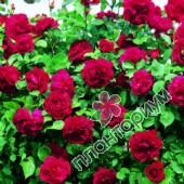 Роза Etoile De Hollande