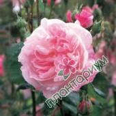 Роза Fantin Latour