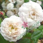 Роза Felicite-Perpetue