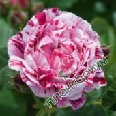 Роза Ferdinand Pichard
