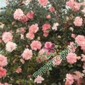 Роза Francois Juranville
