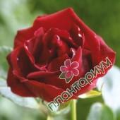 Роза Guinee