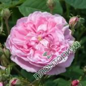Роза Ispahan