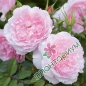 Роза Lady Salisbury
