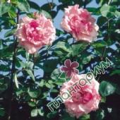 Роза Lady Sylvia