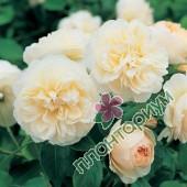 Роза Lichfield Angel