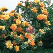 Роза Maigold